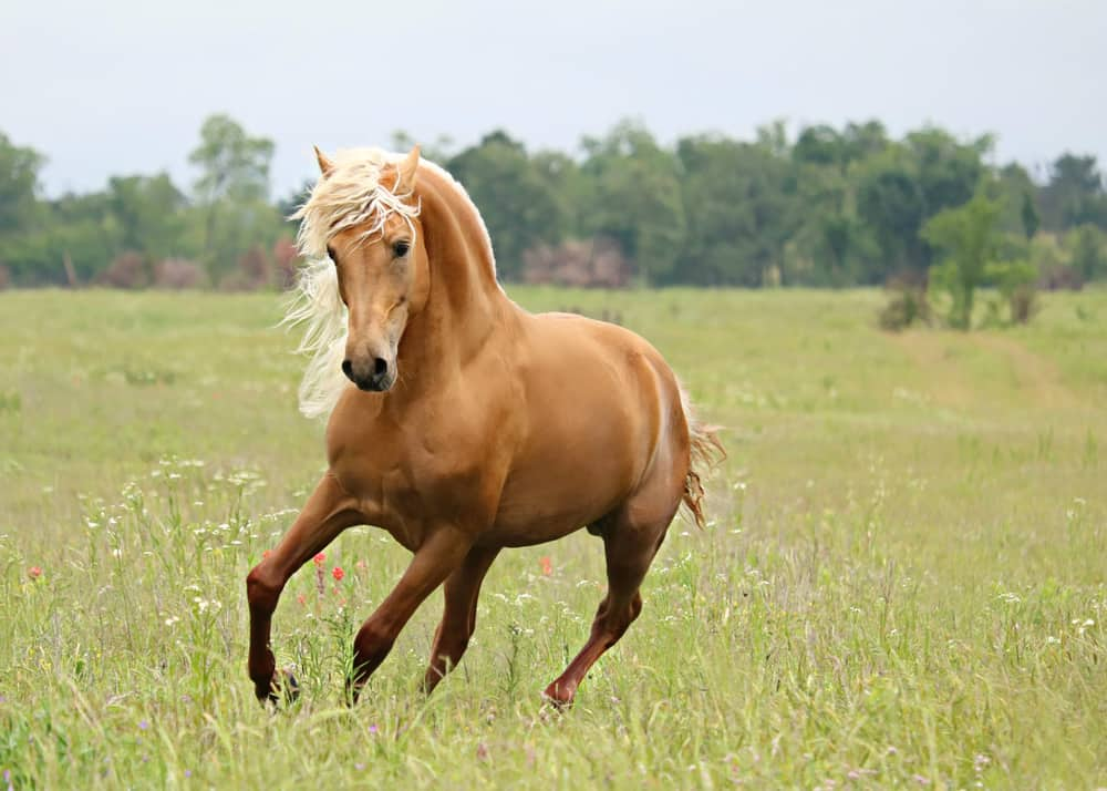 9 Fun Facts About Palomino Horses