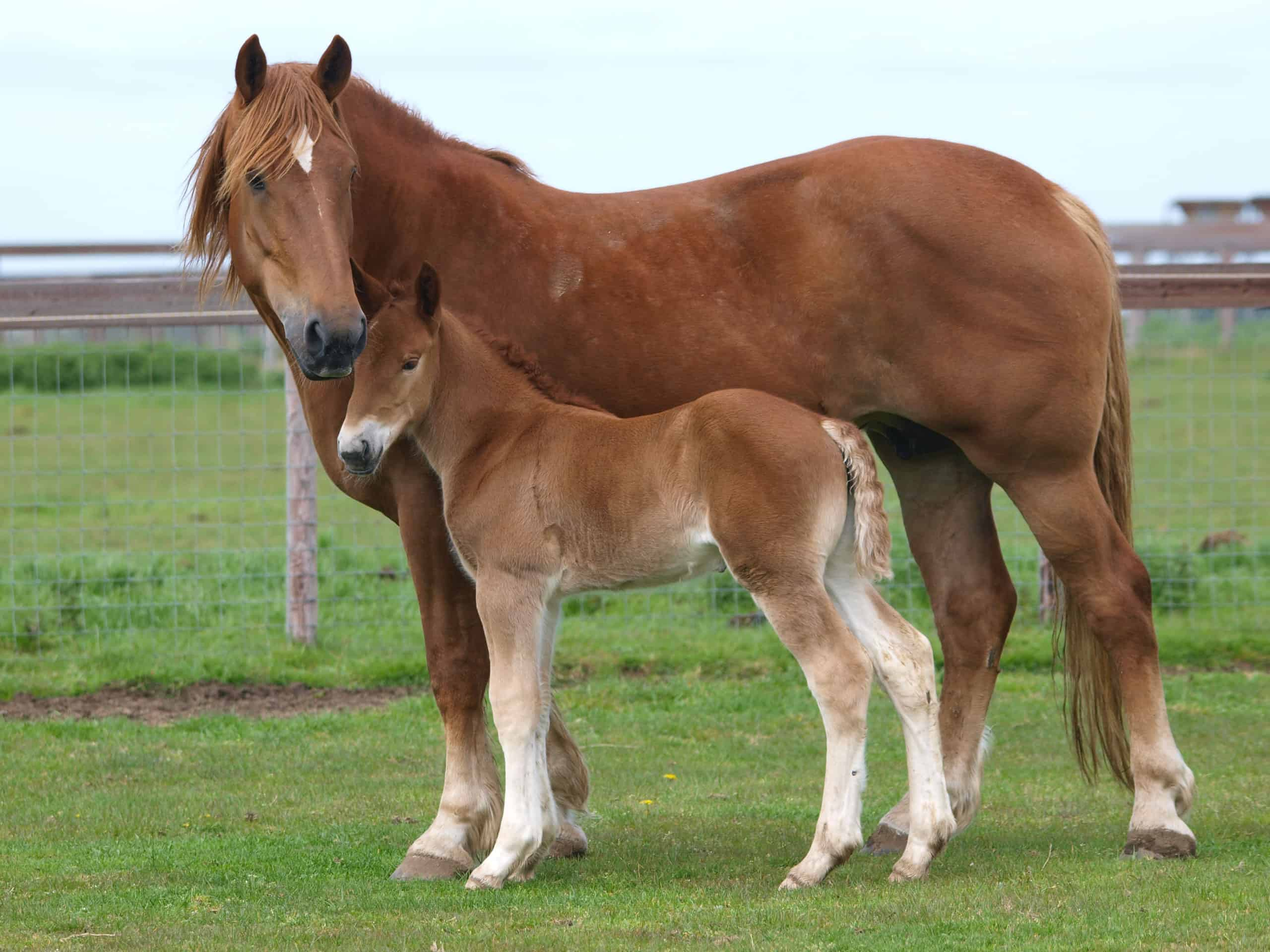 Baby Horse Called