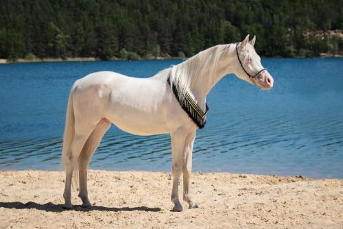 Cremello horses