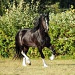 10 Largest Horse Breeds In the World