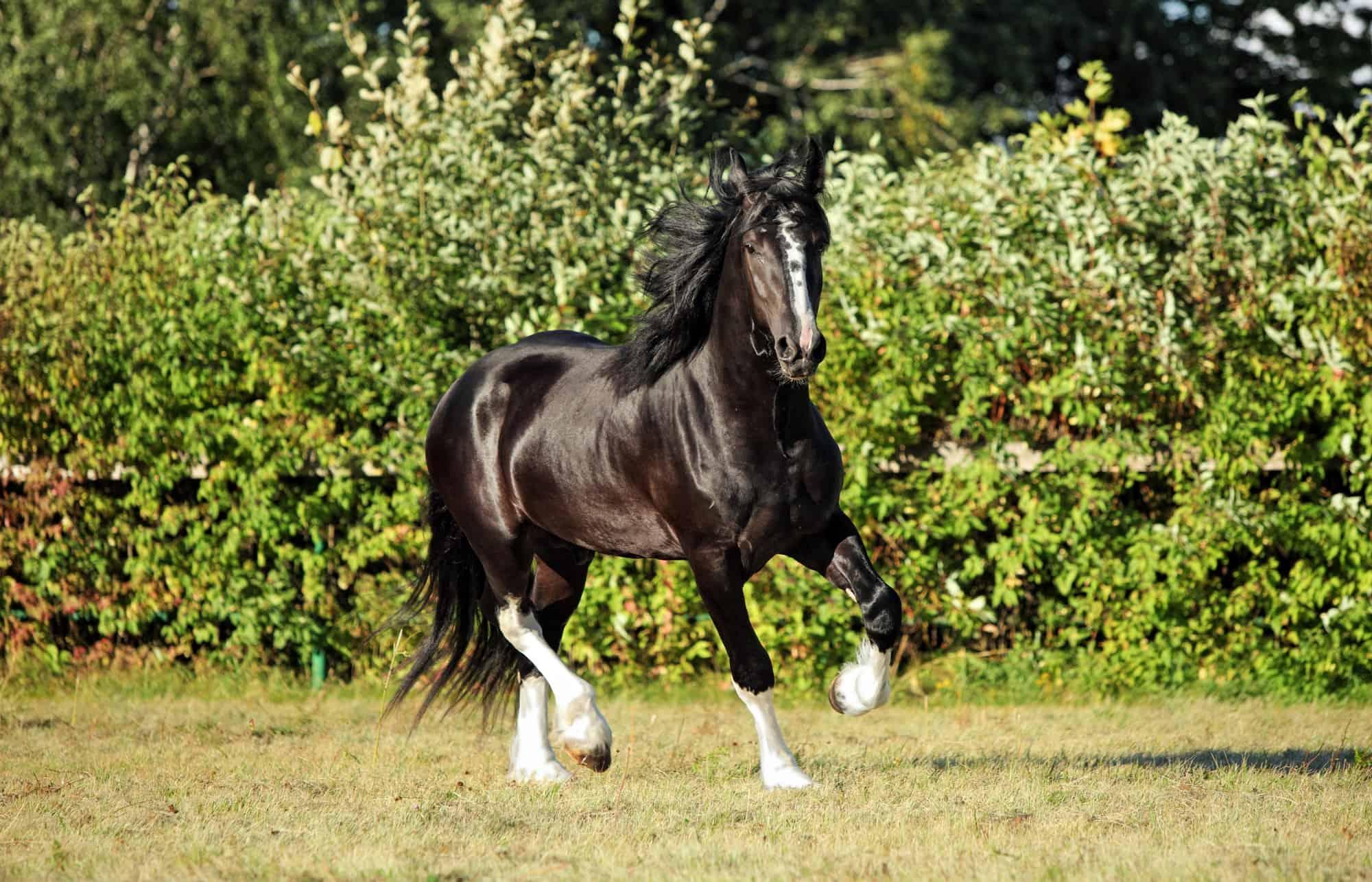 Largest Horse Breeds 1