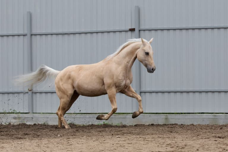 What Exactly Is a Palomino Horse?
