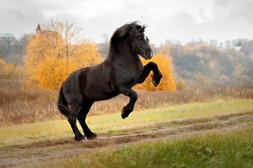 Horse,Breed,Percheron,On,Its,Hind,Legs,In,The,Jump