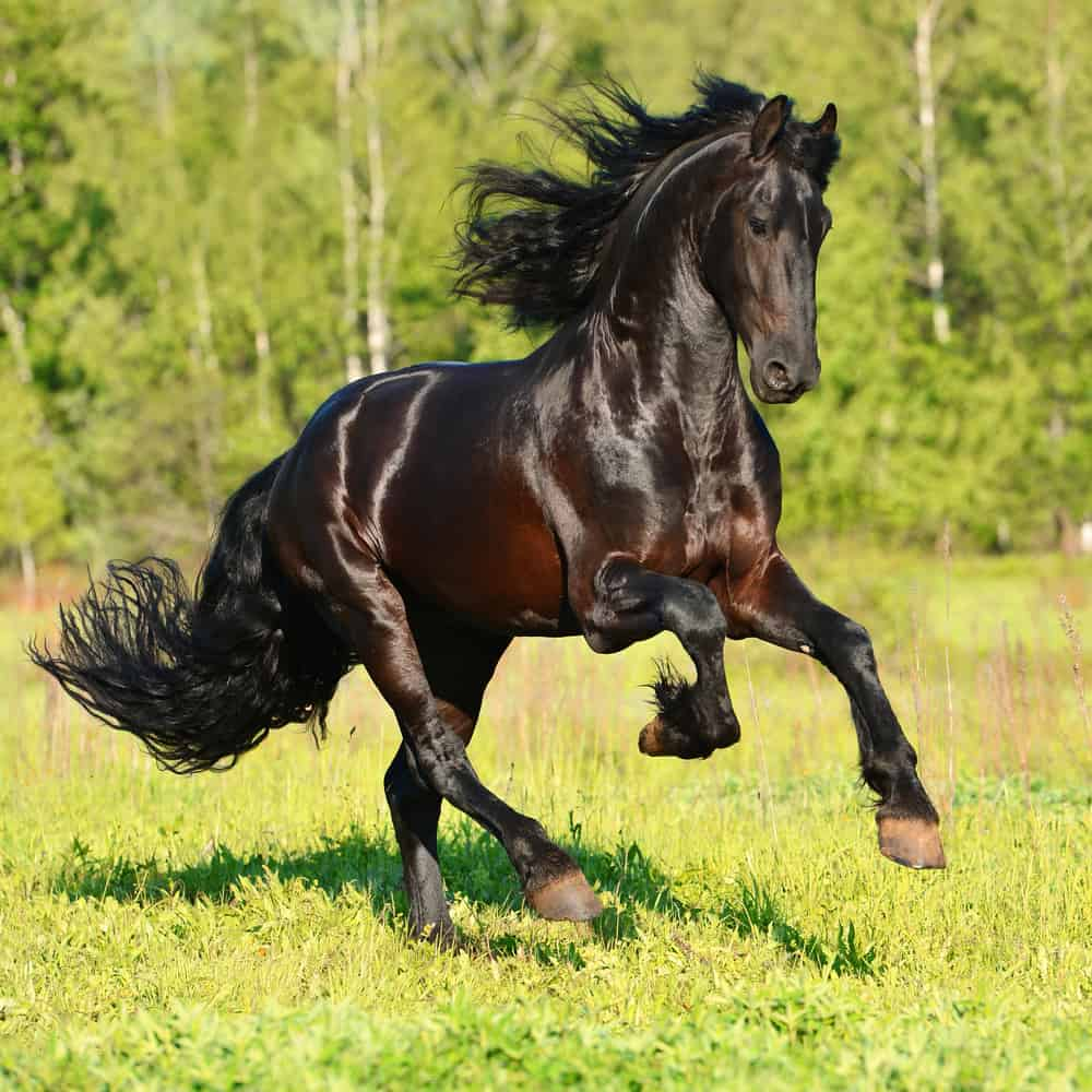 Physical Characteristics of a Friesian Horse