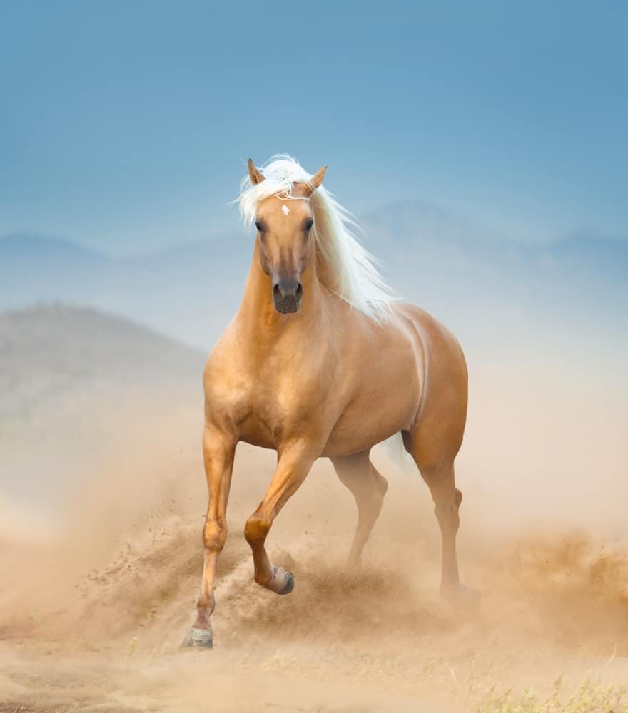 The Origin of Palomino Horses