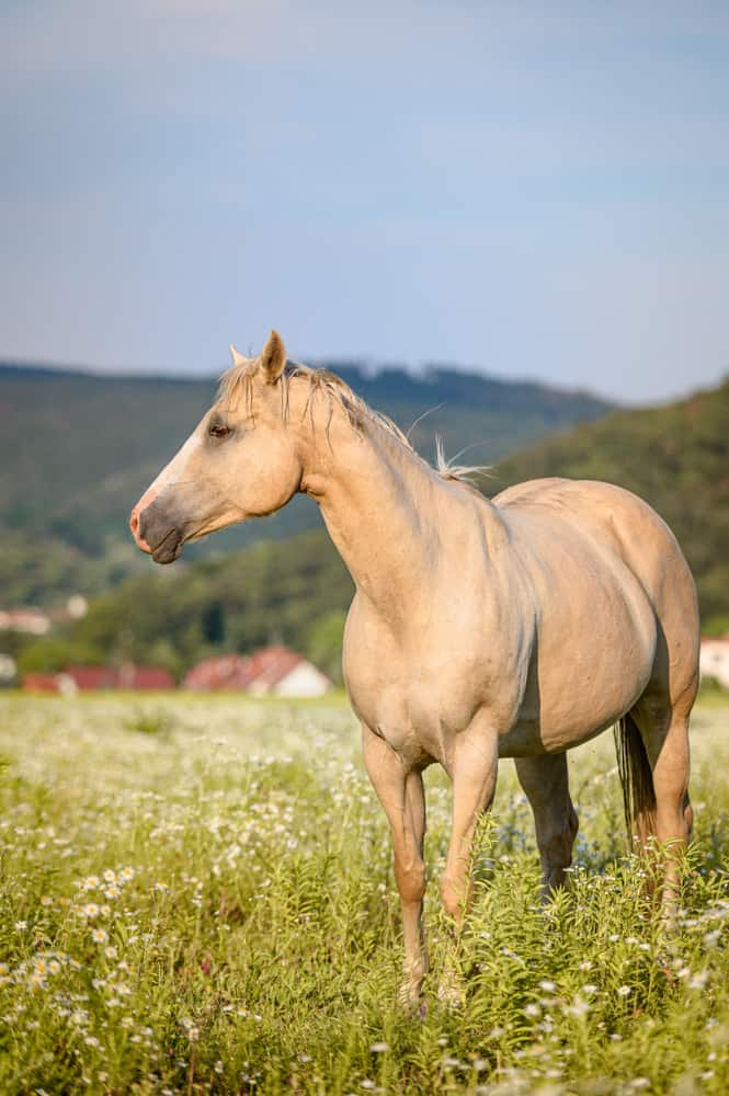 What Exactly Is a Palomino Horse