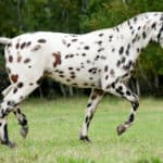 12 Spotted Horse Breeds In the World