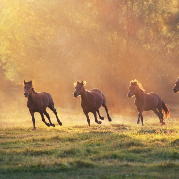 13 Fastest Horse Breeds in the World
