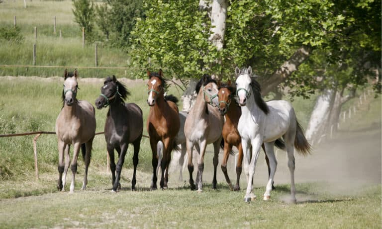 17 War Horse Breeds (History & Pictures)