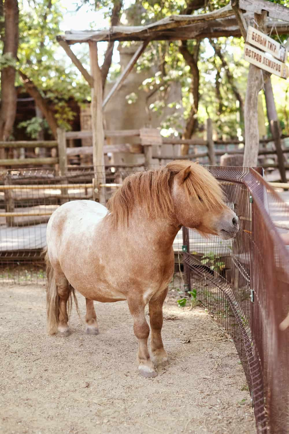 5 Tips to Keep a Miniature Horse Healthy