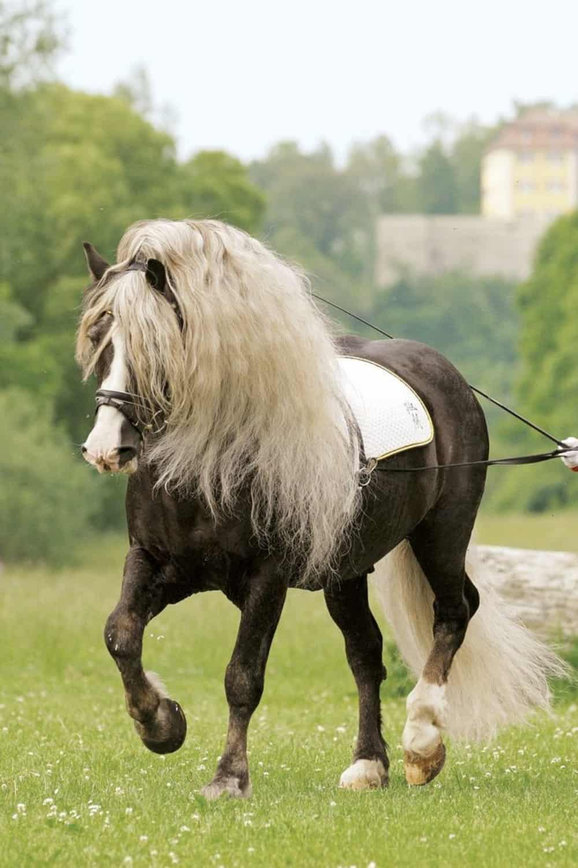 Black Forest Pony