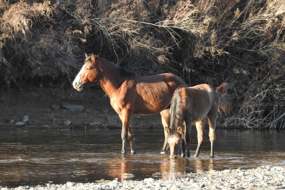 Current Situation of the Natural Horse Habitat In the United States