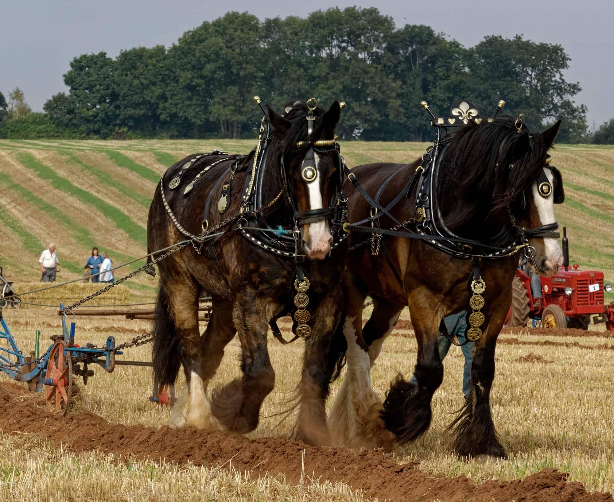 Draft Horse Breeds