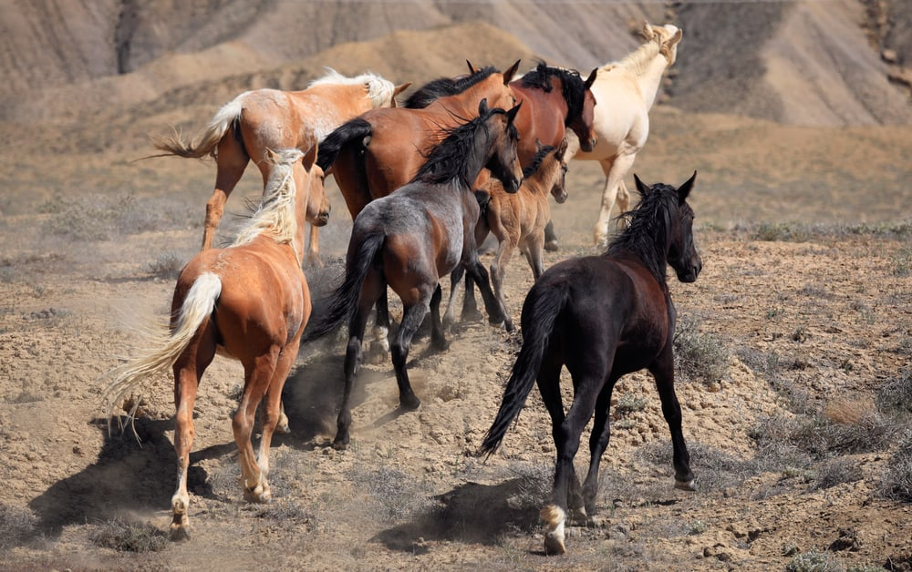 How Are Wild Horses Adapted to Their Natural Habitat