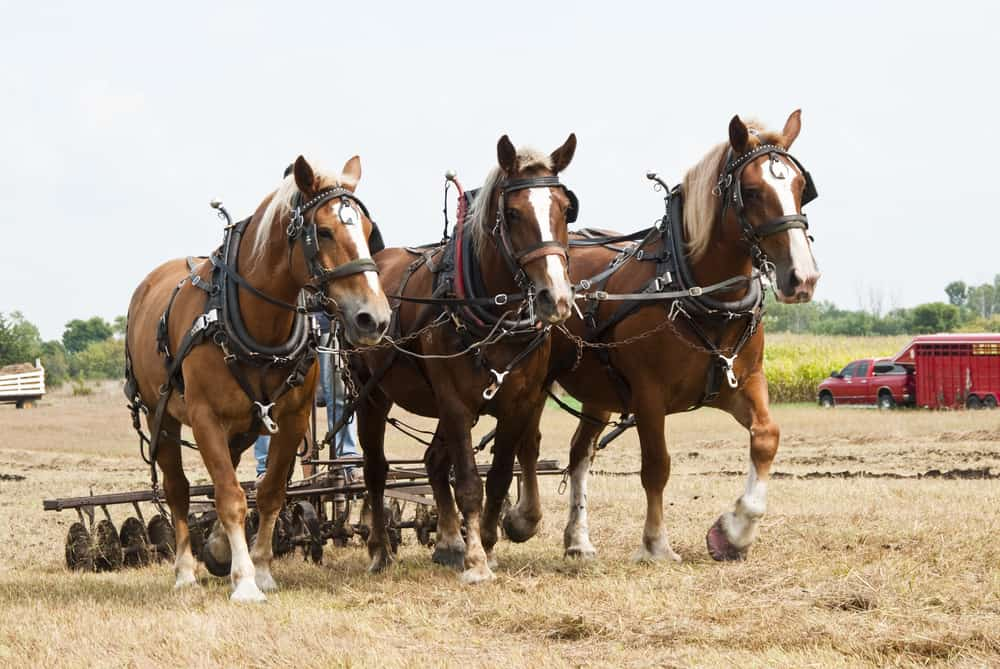 How Fast Can a Draft Horse Pull a Wheeled Load