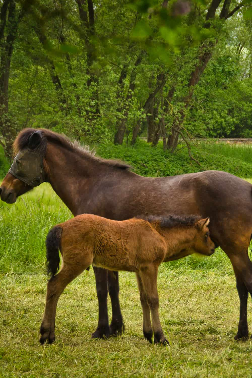 Mare horses as mothers