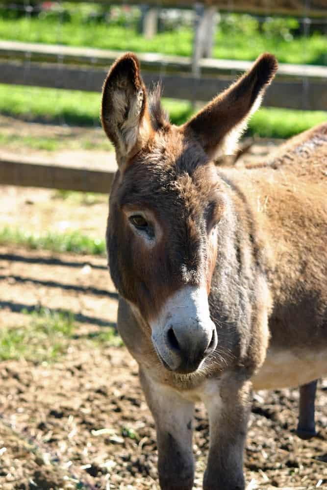 Mule's Characteristics