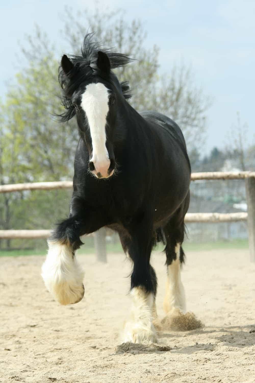 Shire Horse history