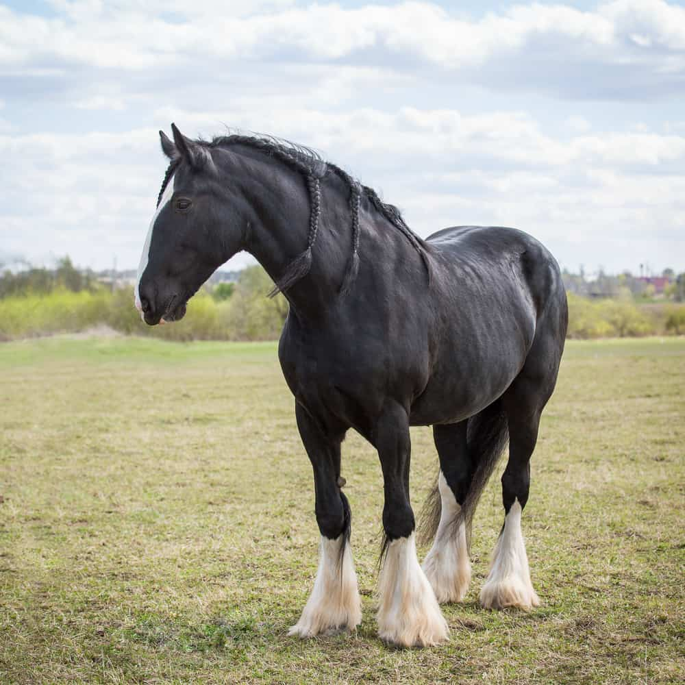 Shire Horse size
