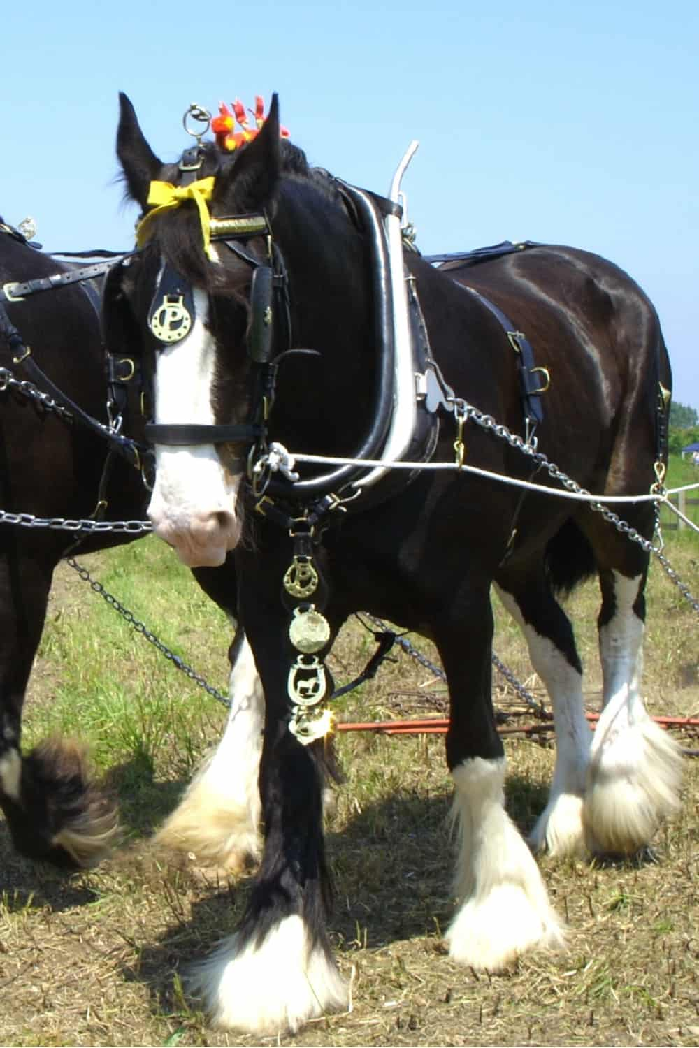 Shire horse work