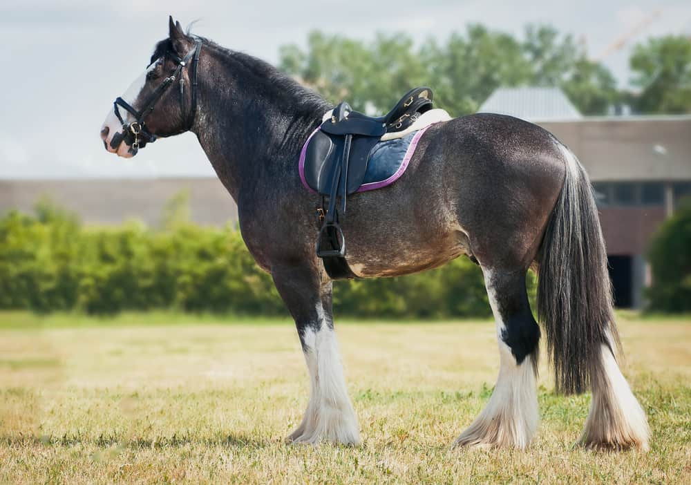 The Shire Horse in the US