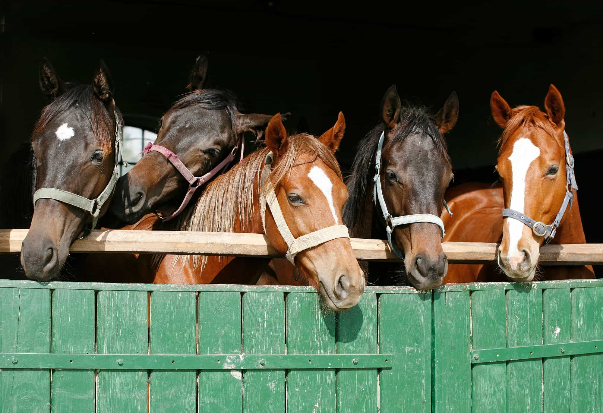 What Is a Gelding Horse