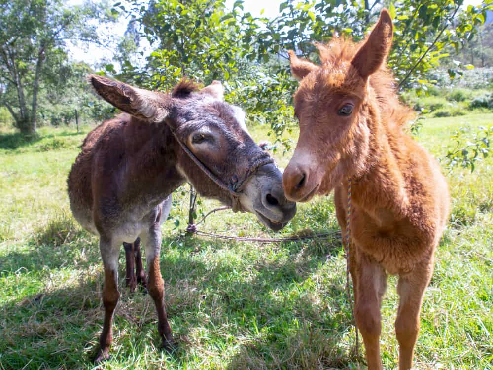 offspring of donkey and horse