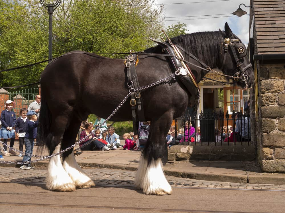 reinvention of the Shire Horse