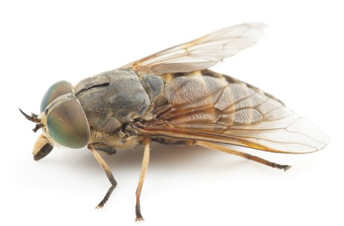 what is Horse fly