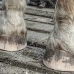 6 Easy Steps to Trim Horse Hooves