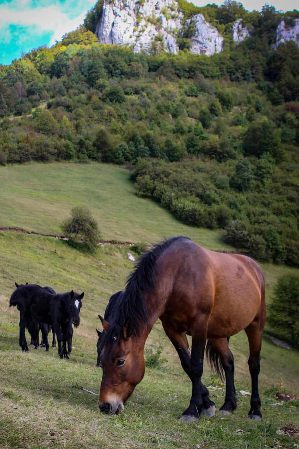 Advantages of the Purebred over the Grade horse