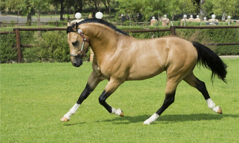 American Quarter Horse History, Origin, Racing & Pictures