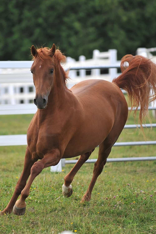 Characteristics of the Morgan Horse