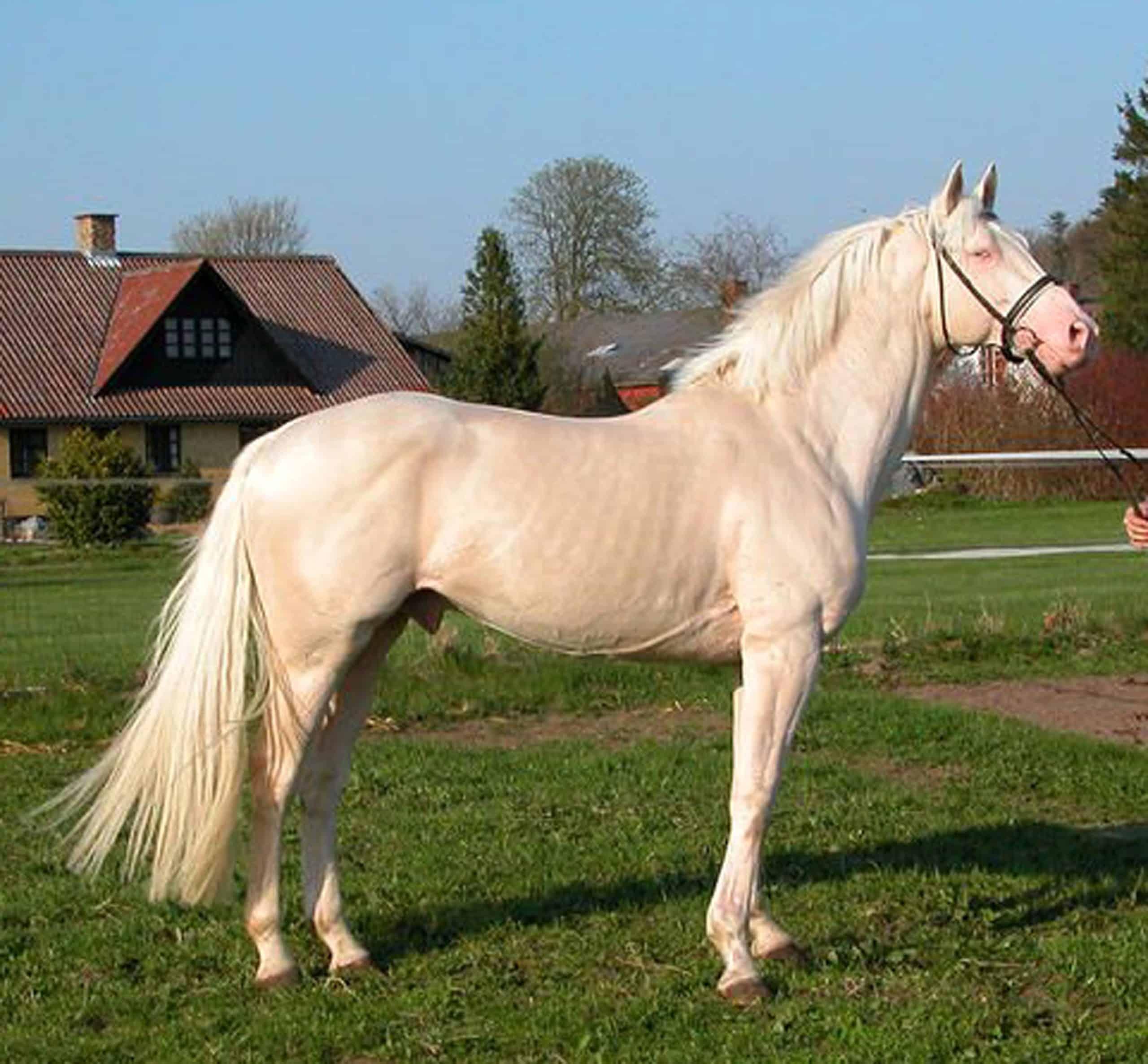 Czech Kinsky Horse