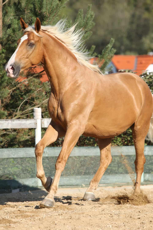 Czech Warmblood Horse
