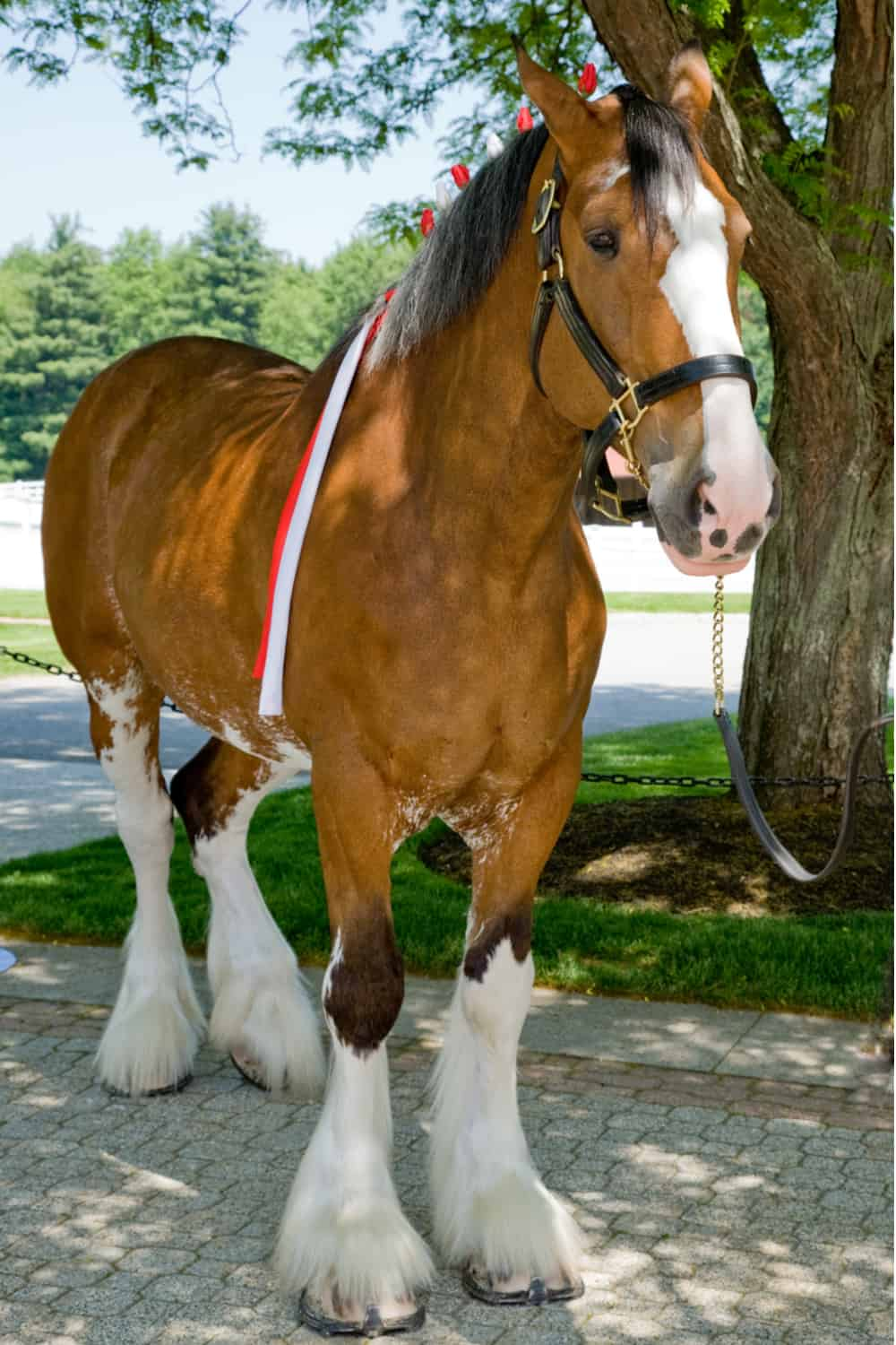 Distinct features of a Clydesdale horse