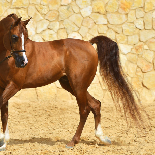 How Much Does an Arabian Horse Cost?