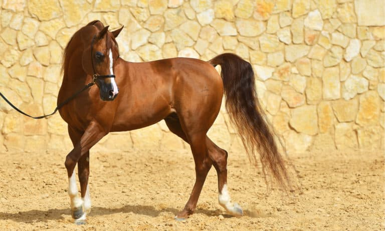How Much Does an Arabian Horse Cost