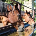 How Much Water Does A Horse Drink? (3 Tips to Ensure)