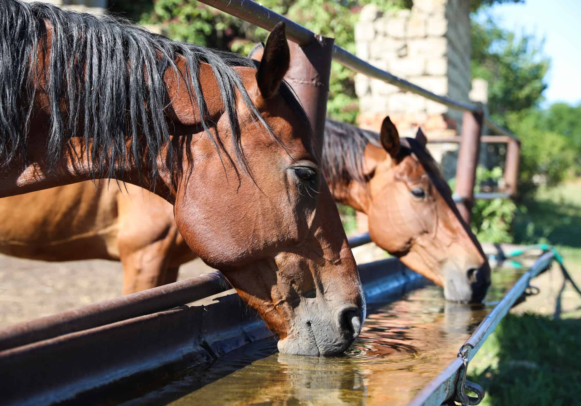 How Much Water Does A Horse Drink (3 Tips to Ensure)