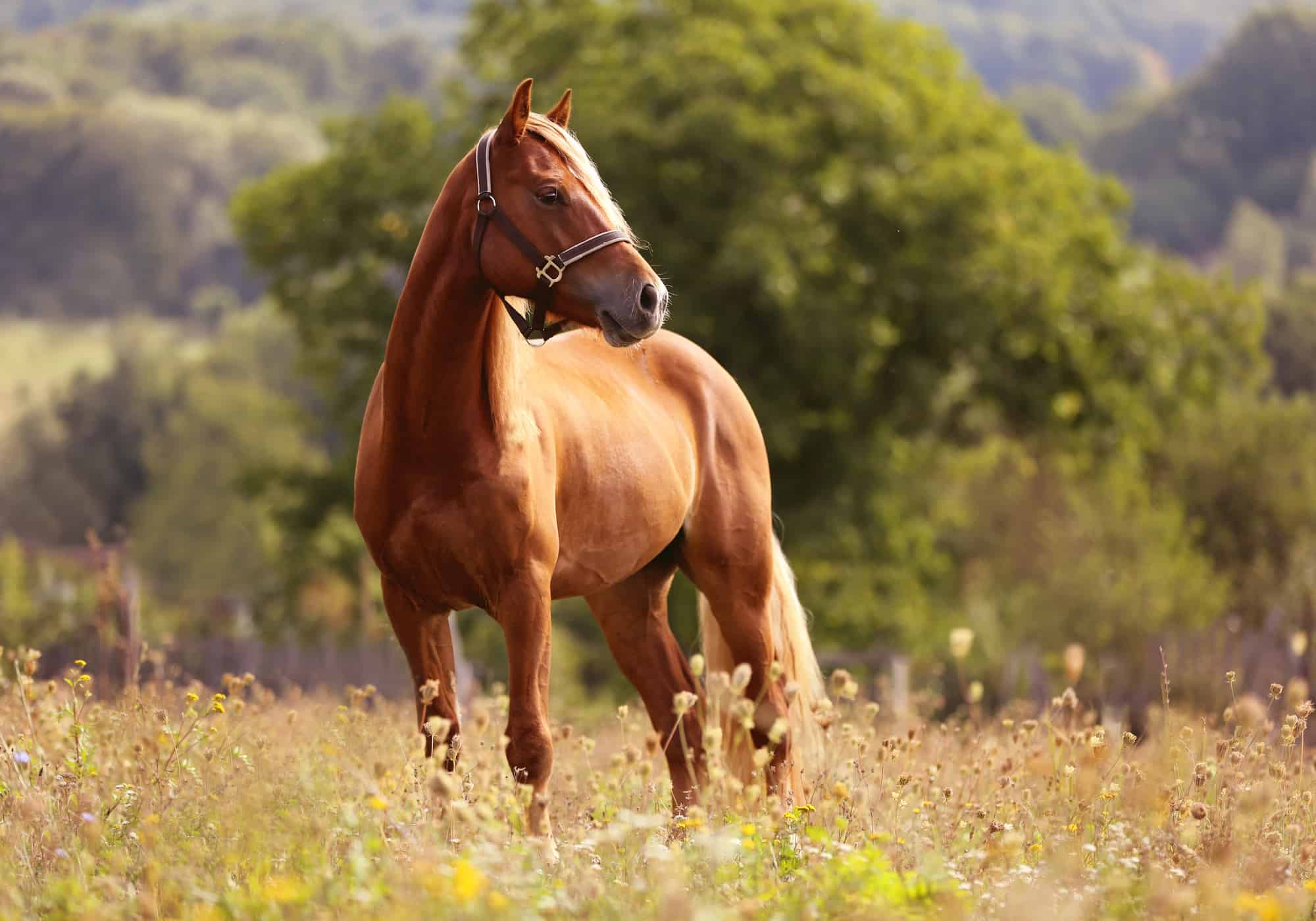 How Strong Is a Horse (4 Facts)