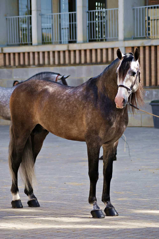 How a Grade Horse looks like