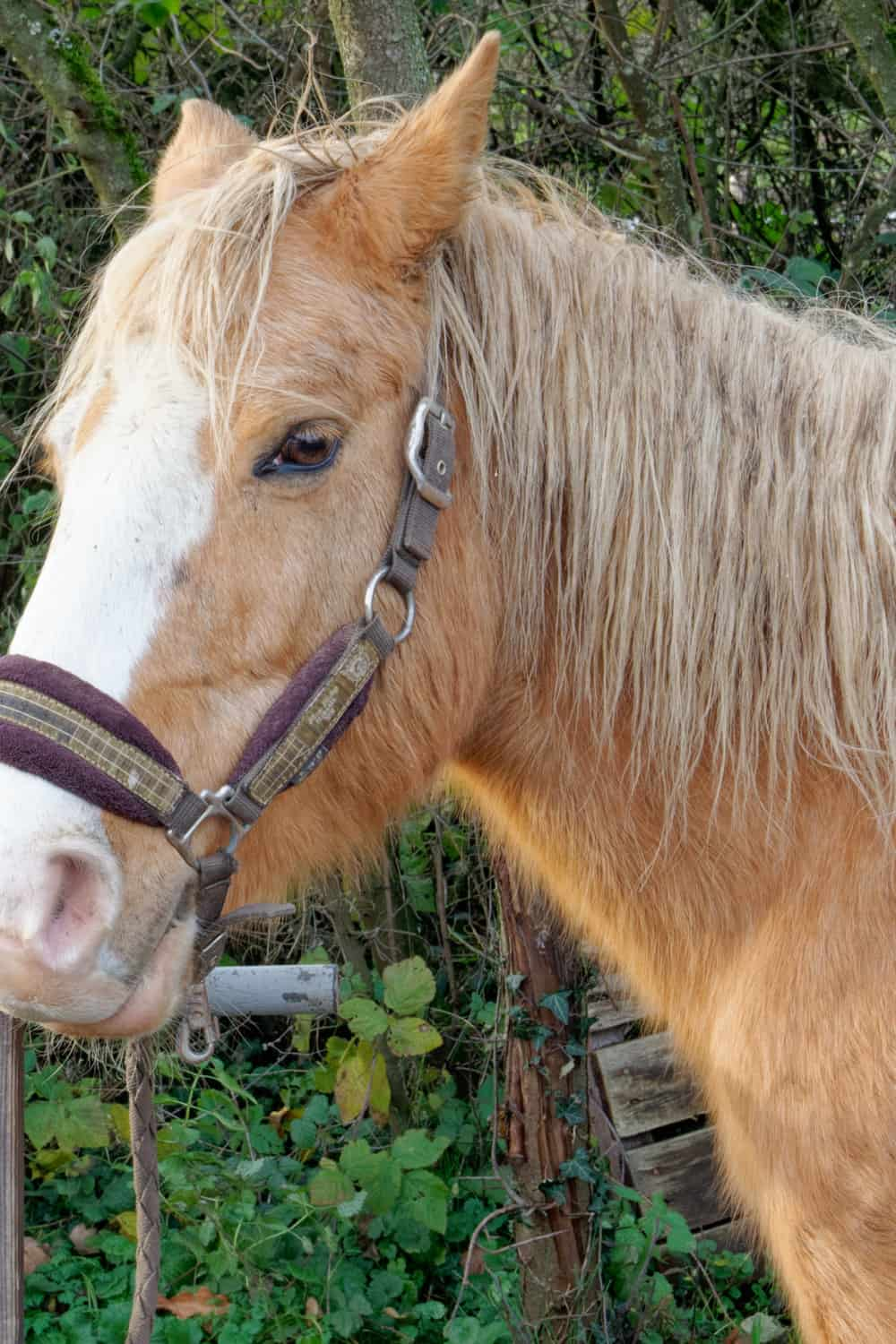 Manes are a good indicator of horse health