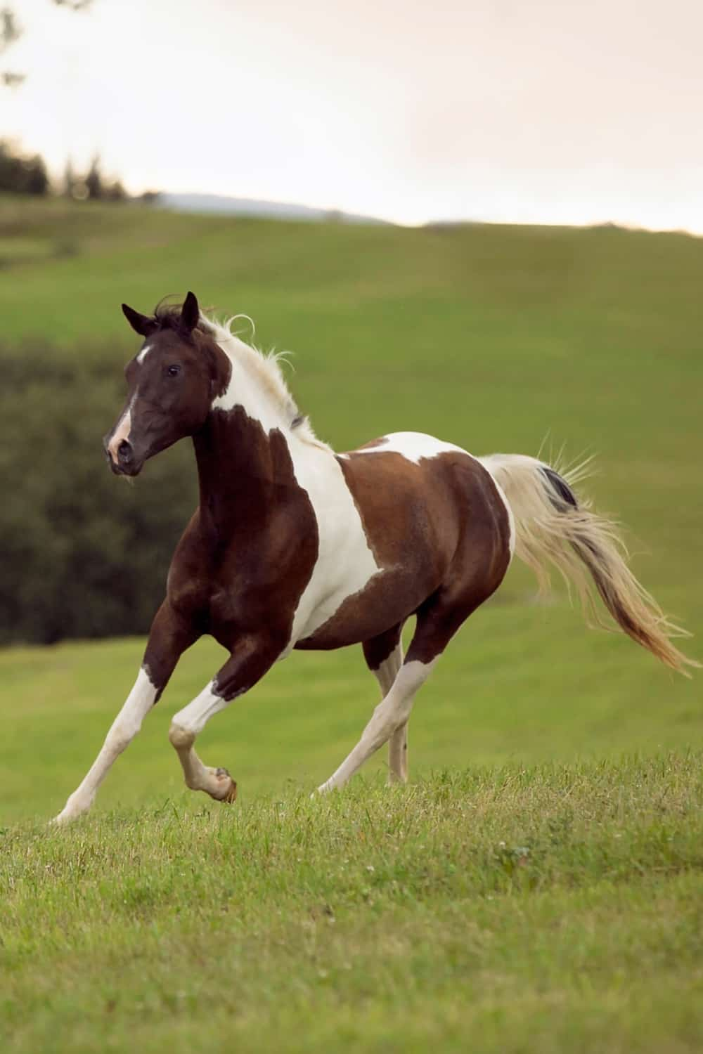 Pinto Horse Origin and Background