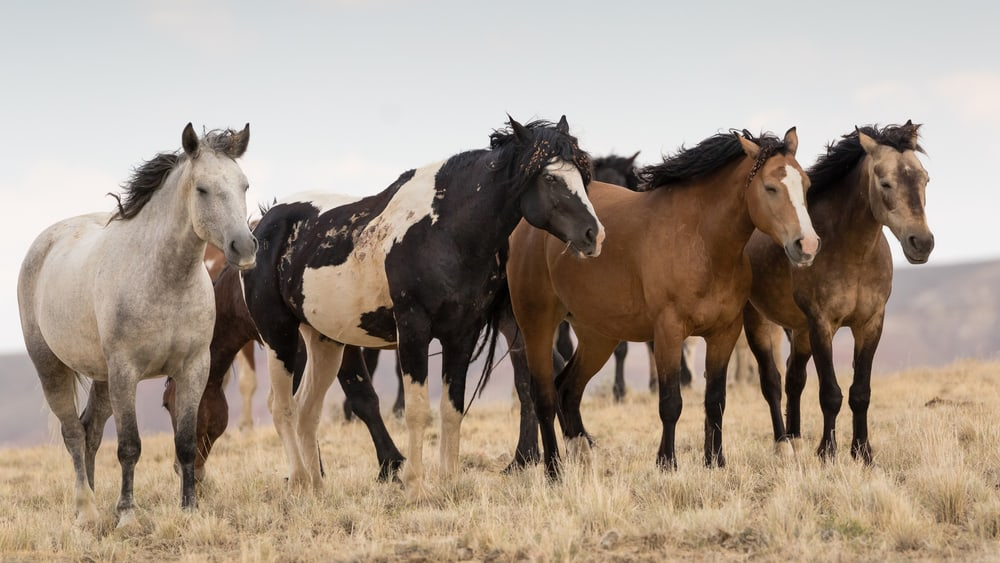 The Origin and History of Mustang Horses
