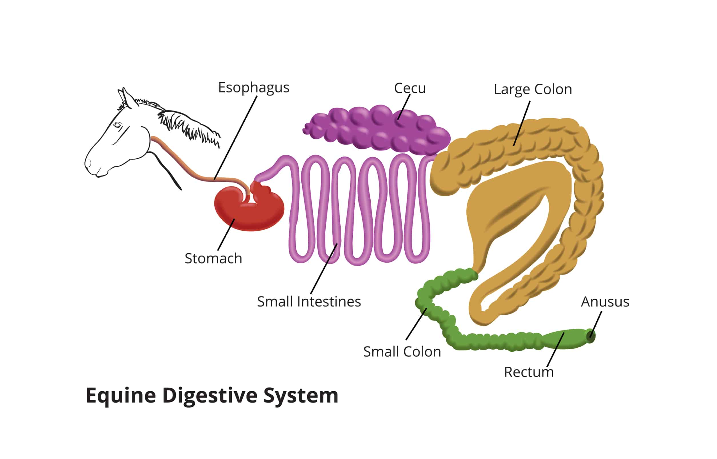 The equine digestive system