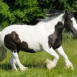 What Is a Pinto Horse? (Background, Temperament & Care)