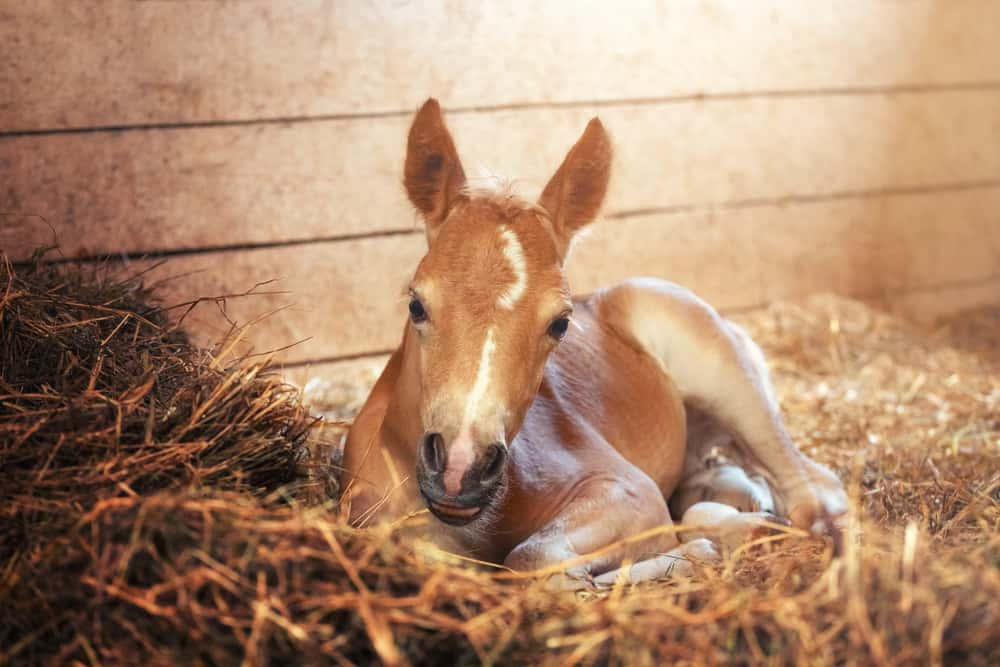 What is a Filly