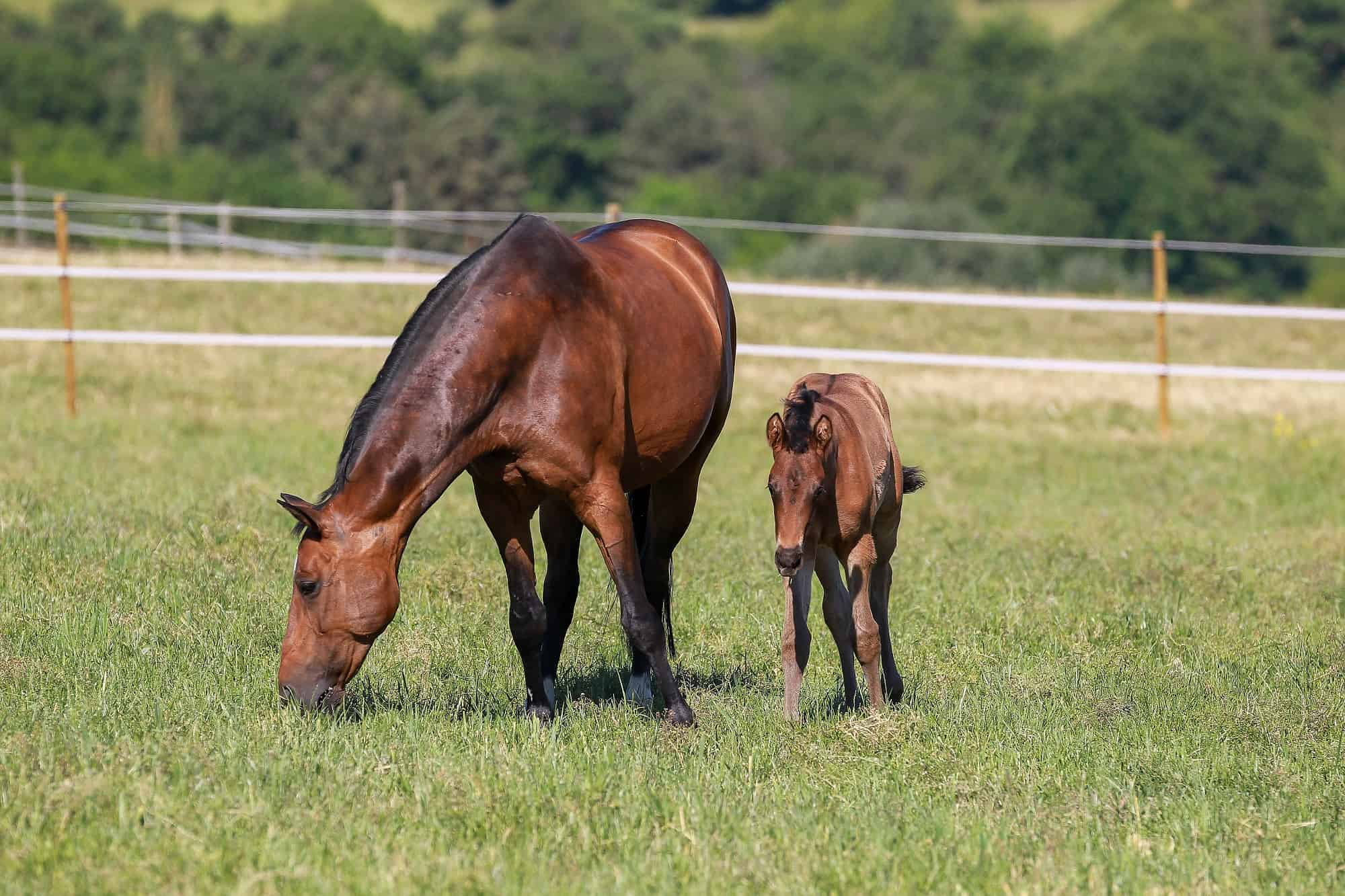 What is the Gestation Period for a Horse