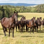 Which Breed Of Horse Originated In Czechoslovakia?
